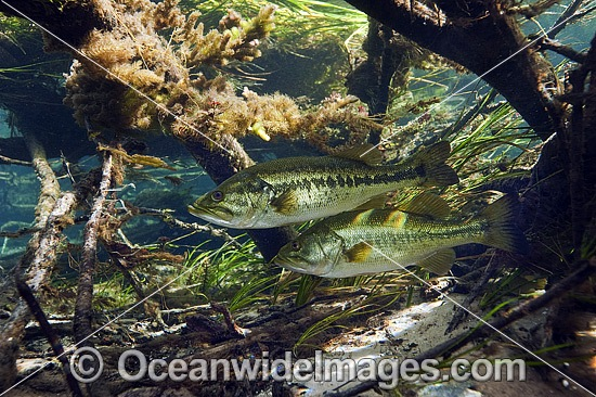 Large-mouth Bass (Micropterus salmoides), resting underneath thick vegetation and fallen branches in the Rainbow River in Dunnellon, Florida, USA. Photo - Michael Patrick O'Neill