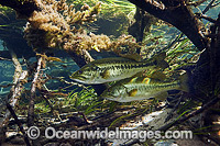 Large-mouth Bass  in Florida image