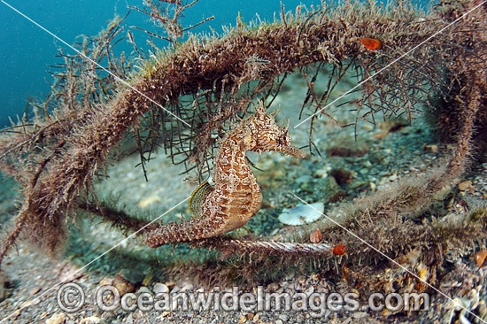 Lined Seahorse (Hippocampus erectus), resting amongst algae in the Lake Worth Lagoon, Palm Beach County, Florida, USA.