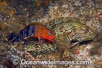 Hairy Blenny male and female mating photo