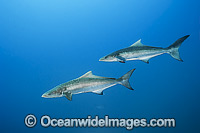 Cobia Rachycentron canadum photo