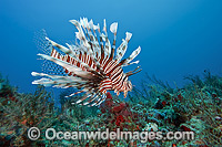 Volitans Lionfish in coral reef photo