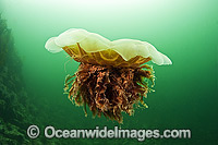 Lions Mane Jellyfish Vancouver Island image