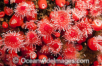 Strawberry Anemones Vancouver Island Photo - Michael Patrick O'Neill