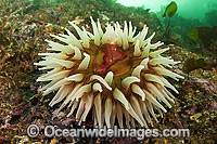 Fish-eating Anemone Urticina piscivora Photo - Michael Patrick O'Neill