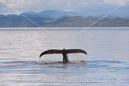 Humpback Whale tail fluke photo