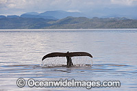 Humpback Whale tail fluke Photo - Michael Patrick O'Neill