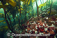 Kelp Forest Vancouver Island Photo - Michael Patrick O'Neill