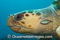 Loggerhead Sea Turtle and fish Photo - Michael Patrick O'Neill