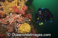 Giant Pacific Octopus and Diver photo