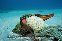 Horse Conch laying eggs