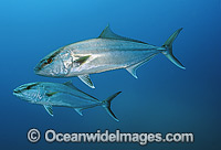 Amberjack Seriola dumerili photo
