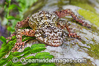Leaf-tailed Gecko on Palm photo