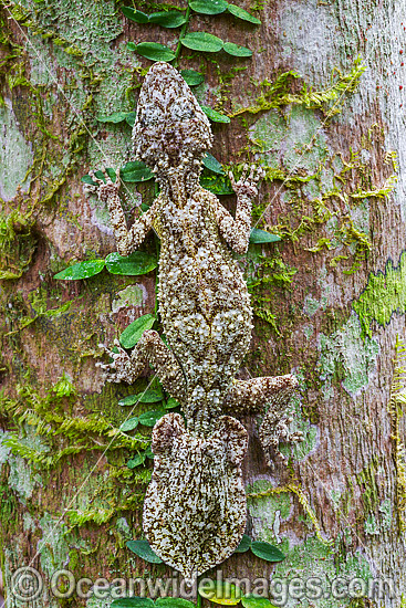 Leaf-tailed Gecko (Saltuarius swaini), resting on the trunk of a native Bangalow Palm (Archontophoenix Cunninghamiana). Photo was taken in a rainforest situated near Coffs Harbour, New South Wales, Australia. Photo - Gary Bell