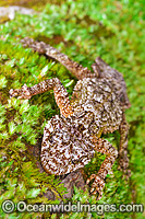 Leaf-tailed Gecko on Tree photo