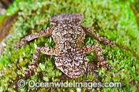 Leaf-tailed Gecko on Bangalow Palm photo