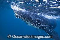 Humpback Whale Photo - Vanessa Mignon