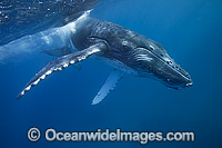 Humpback Whale calf Photo - Vanessa Mignon