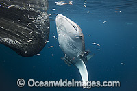 Whale Shark near fish in net Photo - Vanessa Mignon