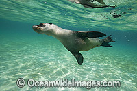 Galapagos Sea Lion underwater photo