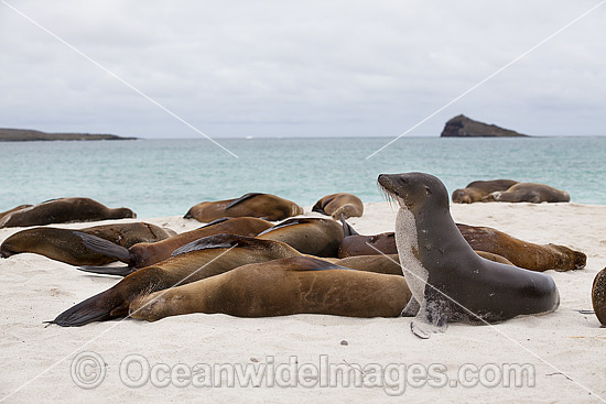 Galapagos Sea Lion (Zalophus wollebaeki), resting on a beach. Photo was taken at the Galapagos Islands, Ecuador. Classified Endangered on the IUCN Red List of Threatened Species. Photo - Vanessa Mignon