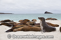 Galapagos Sea Lion resting on beach photo