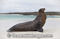 Galapagos Sea Lion Zalophus wollebaeki photo