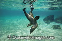 Galapagos Sea Lion Galapagos Island photo