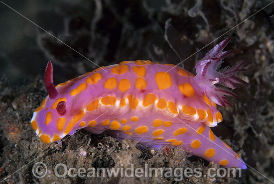 Nudibranch (Ceratosoma amoenum). Also known as Sea Slug. Found throughout New Zealand, Southern and Eastern Australia. Photo - Gary Bell
