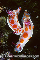 Nudibranch Ceratosoma amoenum Photo - Gary Bell