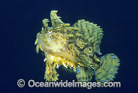 Sargassum Anglerfish Photo - Gary Bell