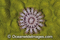 Crown-of-thorns Starfish juvenile Photo - Gary Bell