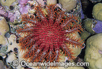 Crown-of-thorns Starfish photo