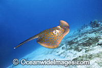 Blue-spotted Fantail Stingray photo