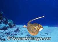 Blue-spotted Stingray Taeniura lymma photo