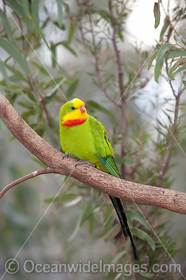Superb Parrot (Polytelis swainsonii) - male. Found in Eucalpyt Forests, Mallee, native Cyprus and Farmlands throughout North Central New South Wales, Australia. Photo - Gary Bell