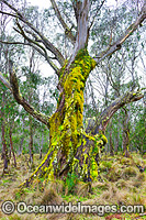 Moss covered Eucalypt tree image