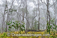 Snow Gums photo