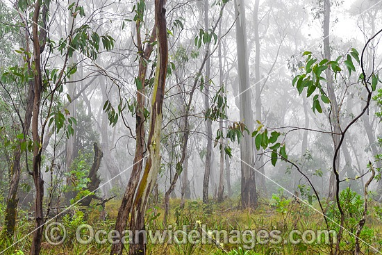 Open woodland of snow gum, shining gum and tussocky snow grass in mist. New England National Park, New South Wales, Australia. This subtropical rainforest is inscribed on the World Heritage List in recognition of its outstanding universal value. Photo - Gary Bell