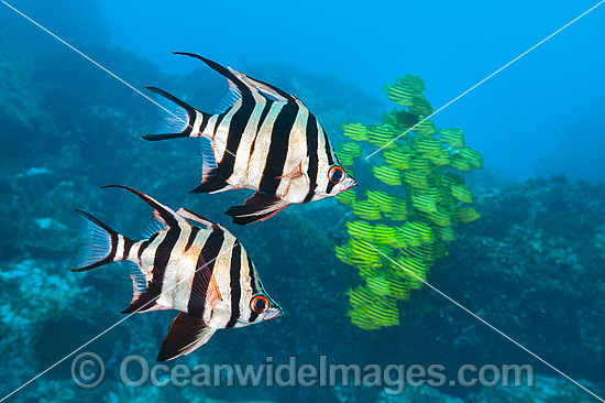 Old Wife (Enoplosus armatus) and schooling Stripey (Microcanthus strigatus). Photo taken at Solitary Islands, Coffs Harbour, NSW, Australia.