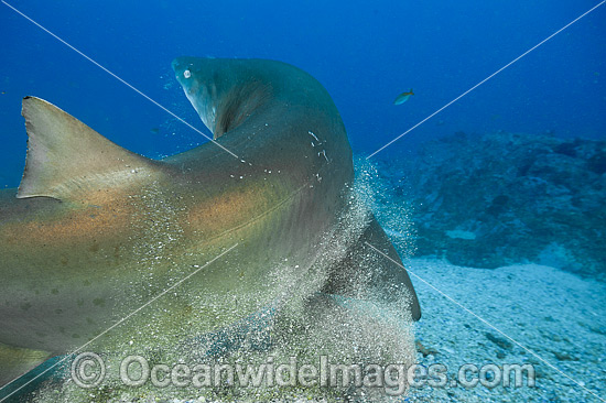 Grey Nurse Shark (Carcharias taurus), scraping parasites off in sand. Known as Grey Nurse Shark (Australia), Sand Tiger Shark (USA) and Ragged-tooth Shark (South Africa). Photo taken at Solitary Islands, NSW, Australia. Photo - Gary Bell