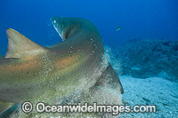 Grey Nurse Shark scraping off parasites Photo - Gary Bell