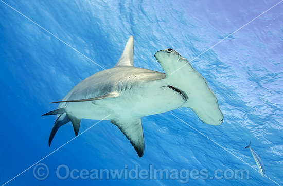 Great Hammerhead Shark (Sphyrna mokarran). Found throughout the world in tropical and warm temperate waters. Feeds on crustaceans, cephalopods, bony fishes, rays and smaller sharks. Photo taken at South Bimini, Bahamas, North Atlantic Ocean. Endangered. Photo - Michael Patrick O'Neill