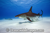 Great Hammerhead Shark Photo - Michael Patrick O'Neill