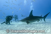 Great Hammerhead Shark & Diver Photo - Michael Patrick O'Neill