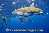 Divers with Oceanic Whitetip Shark photo