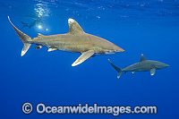 Oceanic Whitetip Shark photo
