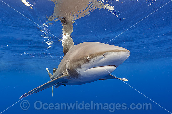 Oceanic Whitetip Shark (Carcharhinus longimanus). This pelagic shark is an aggressive species and is found worldwide in tropical and temperate seas. Photo was taken offshore Cat Island, Bahamas, Atlantic Ocean. Classified Endangered on the IUCN Red List. Photo - Michael Patrick O'Neill