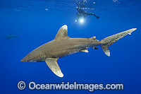 Diver with Oceanic Whitetip Shark photo