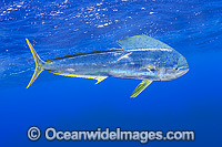 Dolphinfish Photo - Michael Patrick O'Neill